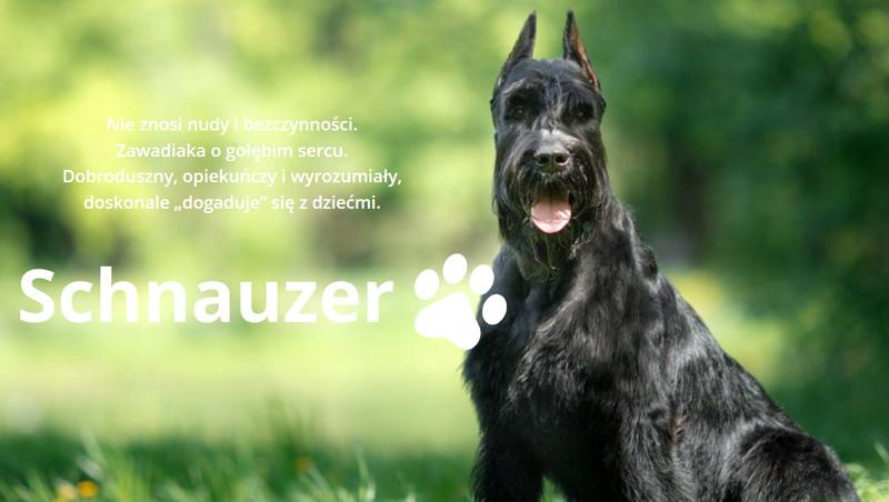 https://img.megaurwis.pl/nowy1/babysafe/schnauzer/1.jpg